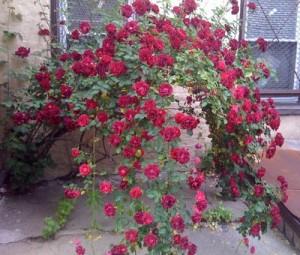 Come curare le rose nel proprio giardino dojo garden - Rose coltivazione in giardino ...