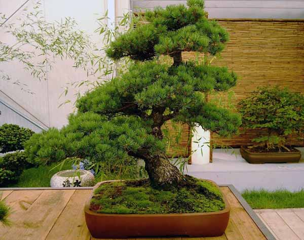 Come prendersi cura del bonsai carmona dojo garden for Piccole piante da interno