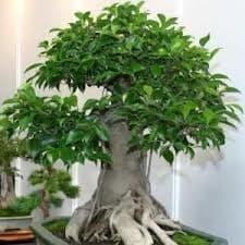 come curare un bonsai ginseng
