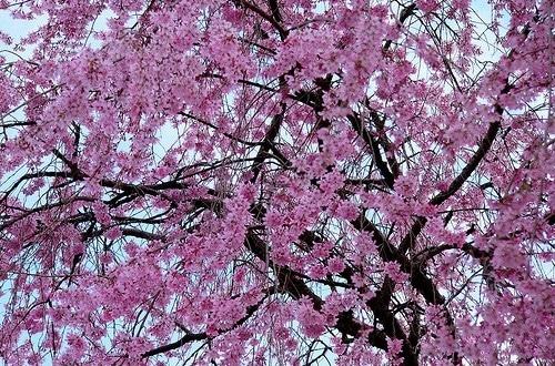 Come piantare e curare il ciliegio dojo garden for Pianta di ciliegio