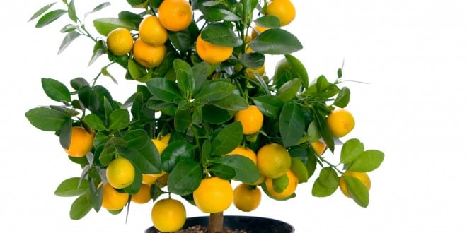 Come Prendersi Cura Del Bonsai Mandarino Dojo Garden