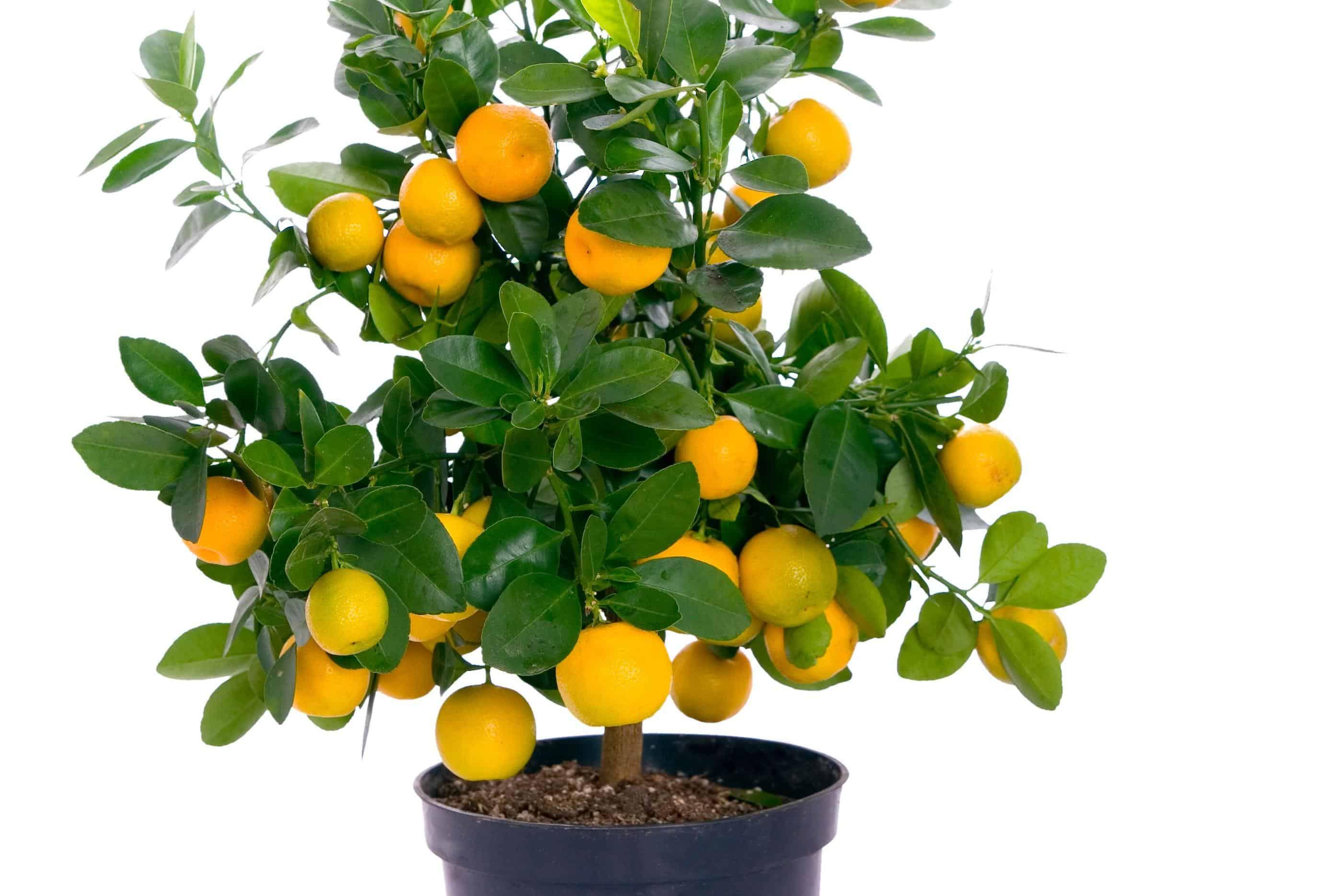 Come prendersi cura del bonsai mandarino dojo garden - Cura dei bonsai in casa ...