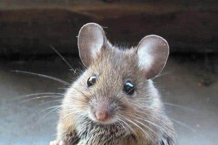 Come eliminare i topi dal giardino - Dojo Garden