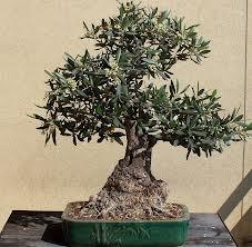 Come coltivare il bonsai d 39 ulivo dojo garden for Bonsai di ulivo