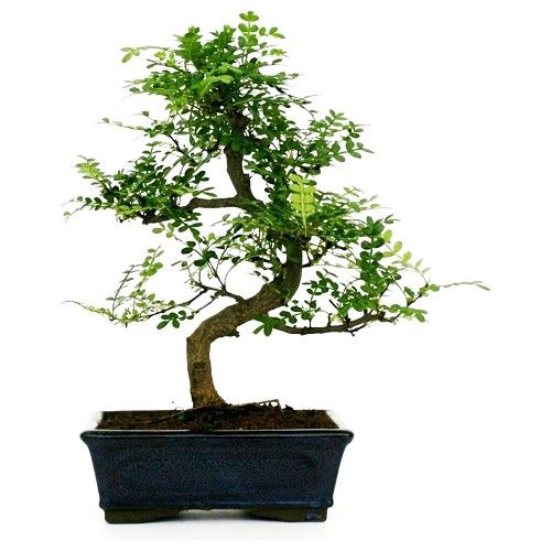 Come curare i bonsai in inverno dojo garden for Piante per bonsai